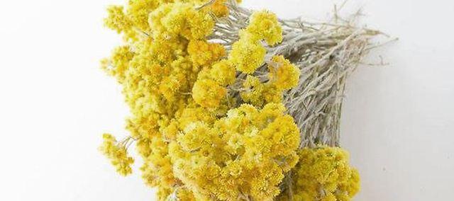 意大利蜡菊的功效与作用图片