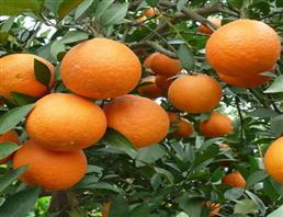 甜橙油 冷榨品,Sweet orange oil/Orange essential oil