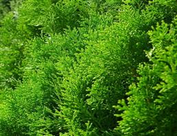 柏木油,Cedar wood oil