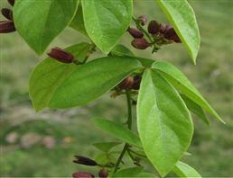 盐酸青藤碱,Sinomenine hydrochloride
