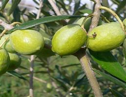 齐墩果酸,Oleanic acid